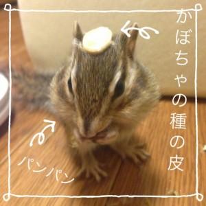 shimarisukabochaboushi